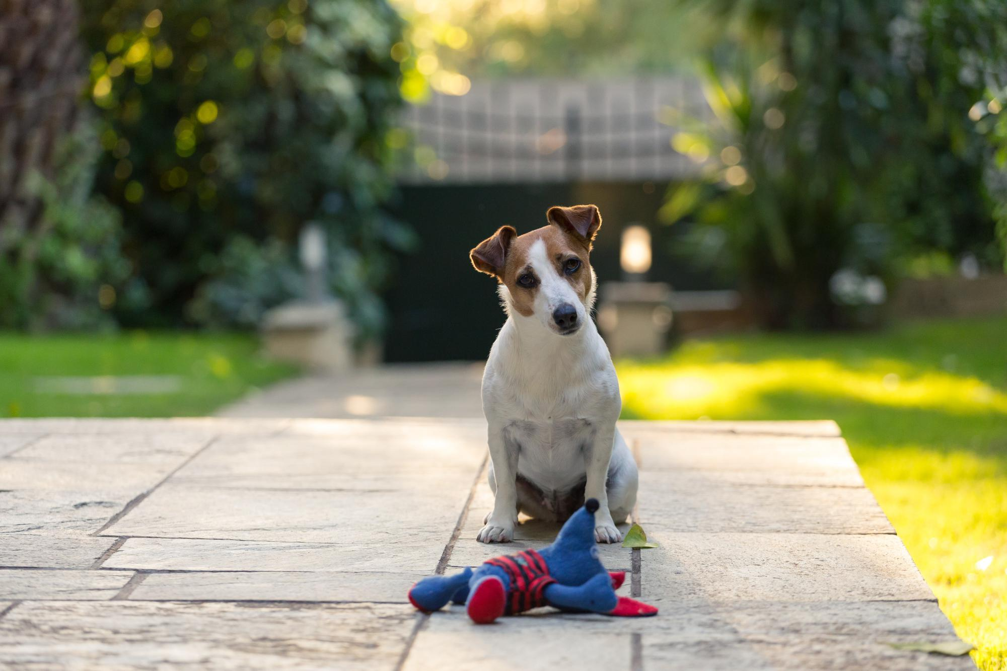 jack-russell-with-toy-PMRBK5K.jpg